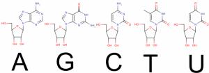 核酸塩基 アデニン チミン シトシン グアニン ウラシル
