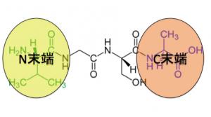 ペプチド結合,N末端,C末端