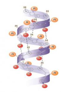 タンパク質,2次構造,αヘリックス構造